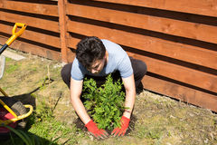 Man plants thuja in a garden stock image