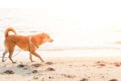 A man play with the dog on the beach. A man play with the dog on the beach and sunset Royalty Free Stock Photos