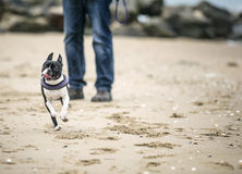 Man playing with agile black and white Boston Terrier. On a sandy beach in Normady on a sunny day royalty free stock photo