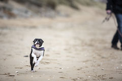 Man playing with agile black and white Boston Terrier. On a sandy beach in Normady on a sunny day Stock Photo