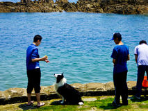 A man playing with a Border Collie. A guy playing with a wet border collie dog on shore near fushan bay in qingdao city shandong province China Stock Photo