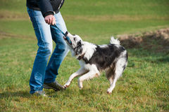 Man playing with dog. Man playing with a young border collie dog royalty free stock images