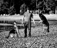 Man Playing with the Dogs. A man throws the dogs toys in the air and they catch them Royalty Free Stock Photo