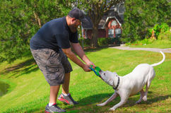 Man playing tug of war w American bulldog dog pet Stock Photo
