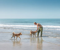 Man playing with two dogs on the beach Royalty Free Stock Images