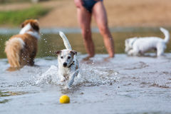 Man plays with dogs in the river Stock Photos