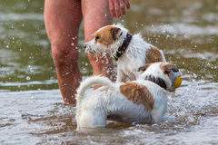 Man plays with dogs in the river Stock Photography