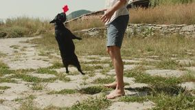 Man plays with french bulldog outside in park. French bulldog and owner spend time outdoors in fresh air, park or backyard garden. Concept play time with pet or stock video