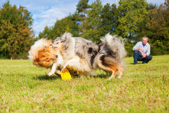 Man plays frisbee with dogs royalty free stock photos