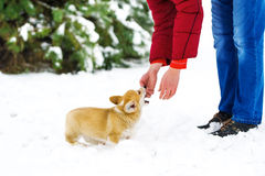 The man plays with a puppy of the Welsh Corgi Stock Images