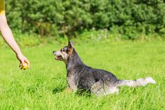 Man Plays With An Australian Cattledog