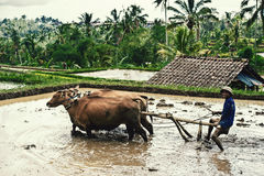 Man plowing the rice field in Bali, Indonesia. Farmer plowing a field using a buffalo in Bali, Indonesia. Traditional farmers use buffalo to plow rice paddies Royalty Free Stock Photo