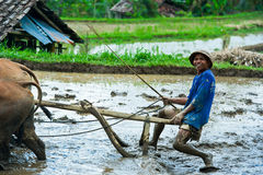 Man plowing the rice field in Bali, Indonesia. Farmer plowing a field using a buffalo in Bali, Indonesia. Traditional farmers use buffalo to plow rice paddies Royalty Free Stock Images