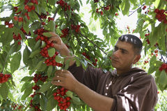 Man Plucking Cherries From Tree Stock Image