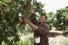 Man Plucking Fresh Cherries Into Basket royalty free stock photo