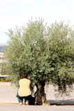 Man plucking green olives, Antequera, Spain. This man is harvesting the olives in autumn in the Andalusian town of Antequera in Spain stock photo