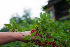 Man plucks ripe red currant bush Stock Photos