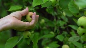 Man plukt rijp Apple van een groene boom op een de zomerdag met de hand stock footage
