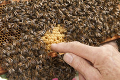 Man pointing finger at honeycomb. With bees Royalty Free Stock Image