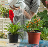 Man pouring water onto blooming flower plant Royalty Free Stock Photo