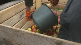 A man pours a bucket of apples into wooden boxes. cl. Ose up stock video