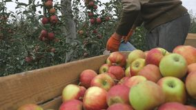 A man pours a bucket of apples into wooden boxes. Close up stock video footage