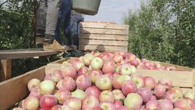 A man pours a bucket of apples into wooden boxes. close up.  stock footage