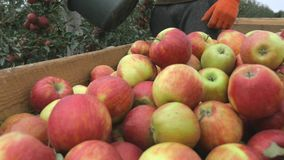 A man pours a bucket of apples into wooden boxes.. Close up stock footage