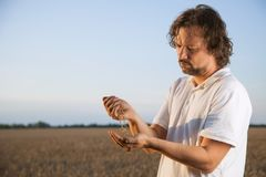 Man pours wheat from hand to hand on the background of wheat fie Stock Images