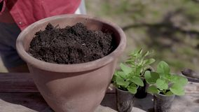 Man is preparing soil for planting small green plants in ceramic pot, detail view of hands in yellow gloves. Gardening in spring stock video