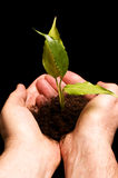 Man protecting a small plant in hand Stock Photo