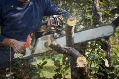 Man without protection, cuts tree with chainsaw Stock Photo