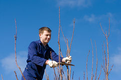 Man pruning apricot branches. Young man pruning apricot branches with the pruner Royalty Free Stock Images
