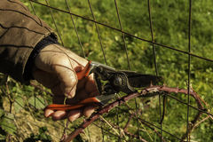 Man pruning a blackberry cane stock images