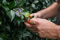 Man Pruning Bushes Stock Image