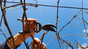 Man pruning grape royalty free stock photos