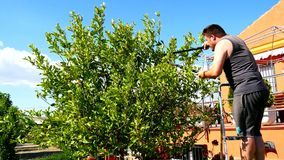 Man pruning a lemon tree (4K).  stock video footage