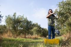 Man pruning olive tree in farm Royalty Free Stock Photos