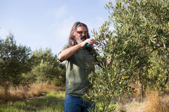 Man pruning olive tree in farm Stock Images
