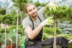 Man pruning ornamental trees stock photo