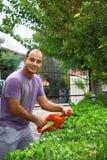 Man pruning shrub with tool in garden Stock Photos