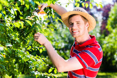Man pruning tree in garden Stock Photography