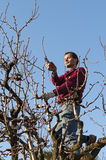 Man pruning tree Stock Photography