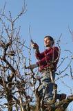Man pruning tree Stock Photography