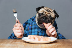 Man with pug dog head eating sausages by hand Royalty Free Stock Image