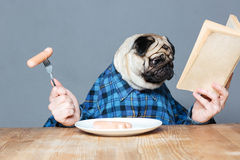 Man with pug dog head eating sausages and reading book. Concentrated man with pug dog head in checkered shirt  eating sausages and reading book over grey Stock Photo