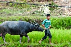 Man pulling The Carabao buffalo through green Royalty Free Stock Photography