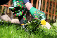 A man pulling dandelion / weeds out from the grass loan.  stock photography