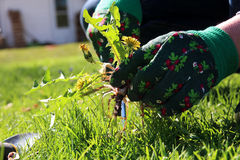 A man pulling dandelion / weeds out from the grass loan.  royalty free stock photos
