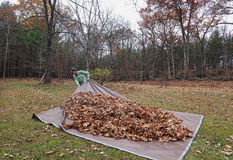 Man pulling tarp with leaves_2 Royalty Free Stock Photos